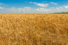 Gold ears of wheat in a field Royalty Free Stock Photos