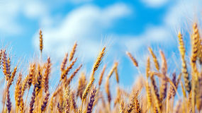Gold ears of wheat under blue sky Stock Photo