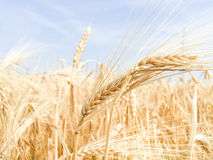 Gold ears of wheat in the vast field Stock Photo