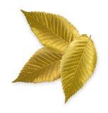 Gold Elm Leaf. Isolated metallic gold elm leaves Stock Image