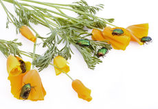 Gold emerald bugs attack. Orange flowers which lie on a white table royalty free stock image