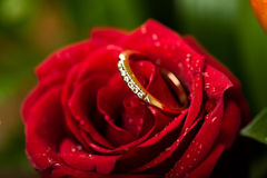 Gold engagement ring in rose flower Royalty Free Stock Image