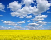 The gold field. Is in beautiful yellow Stock Photo