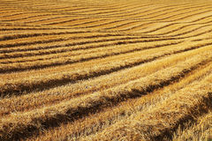 Gold field Royalty Free Stock Images
