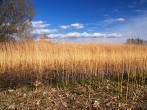 Gold field. Gold color meadow with dark blue sky and white nice clouds Royalty Free Stock Photography