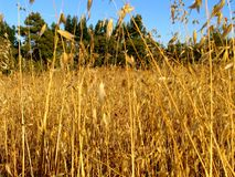 Gold field. Typical landscape of Portugal south, a region called Alentejo. Very hot a dry area Stock Images