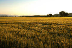 Gold field Royalty Free Stock Photo