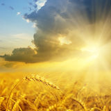 Gold field Stock Images