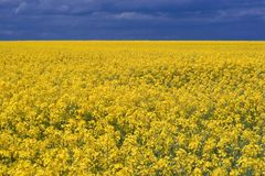 Gold field  Stock Photo