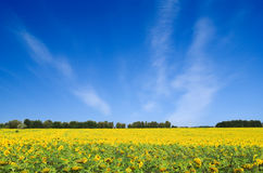 Gold field Stock Image