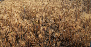 Gold field. Royalty Free Stock Photos