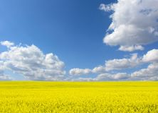 The gold field Royalty Free Stock Image