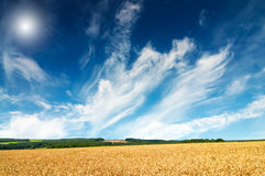 Gold field full of wheat seed. Royalty Free Stock Photography