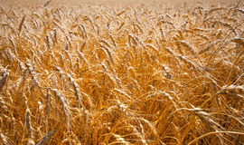 Gold field of ripe wheat Royalty Free Stock Photos