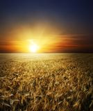 Gold field in sunset Royalty Free Stock Photos