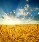 Gold field in sunset Stock Photography