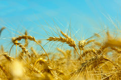 Gold field of wheat Stock Images