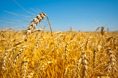 Gold field of wheat Stock Photography