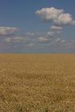 Gold field. Stock Photo