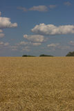 Gold field. Stock Photography