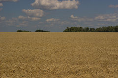 Gold field. Stock Image