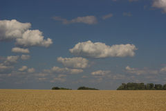 Gold field. Royalty Free Stock Photography