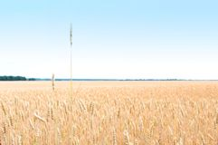 Gold field of wheat. The harvest is growing and maturing under blue sky Stock Photography
