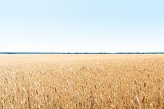 Gold field of wheat. The harvest is growing and maturing under blue sky Royalty Free Stock Photo