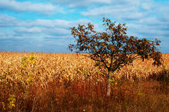 Gold fields and alone tree Stock Image