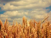 Gold of fields royalty free stock photos