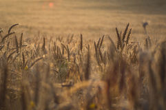 Gold fields of wheat. Breaking new in mexico near to morelos in agriculture field Stock Photos