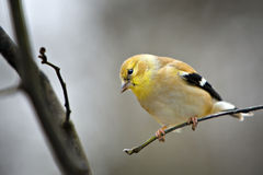Gold Finch. Beautiful Goldfinch on small twig Royalty Free Stock Photo