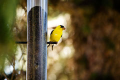 Gold Finch Royalty Free Stock Images