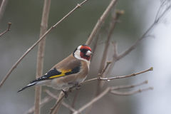 Free Gold Finch Royalty Free Stock Photos - 78719028