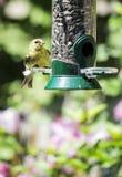 Gold Finch at a Bird Feeder #2 Stock Photo