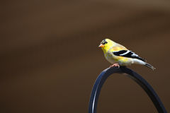 Gold finch Royalty Free Stock Photos