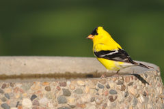 Gold Finch. Goldfinch sitting on a bird bath Stock Photo