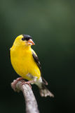 Gold Finch (Male). A Gold Finch eating seeds while perched on a pine branch Royalty Free Stock Image