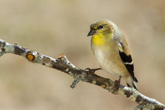 Gold Finch (non-breeding). A male goldfinch in non-breeding coloration Royalty Free Stock Photo