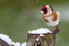 Gold finch sat on a snowy log in winter Royalty Free Stock Photos