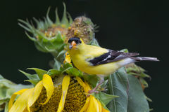 Gold finch on sunflower Stock Photography