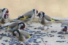 Gold finch team Stock Photo