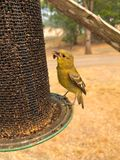 Gold Finch Stock Photography