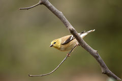 Gold Finch on twig Stock Image