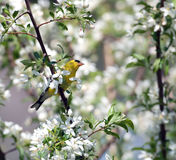 Gold finch and white blooms Stock Photography