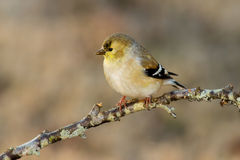 Gold Finch (winter coloring). A gold finch perched in the wintertime in North Carolina Royalty Free Stock Photo