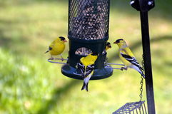 Gold Finches at the Bird Feeder. This is a close-up photo of four gold finches at the bird feeder Stock Photo