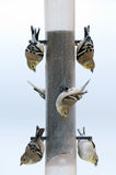 Gold finches at a feeder Royalty Free Stock Photo