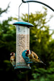 Gold Finches Royalty Free Stock Photos