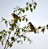 Gold Finches in a Tree Stock Images